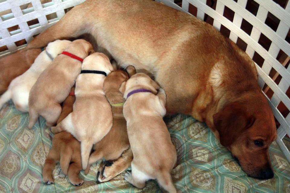 Scarlett y sus cachorros