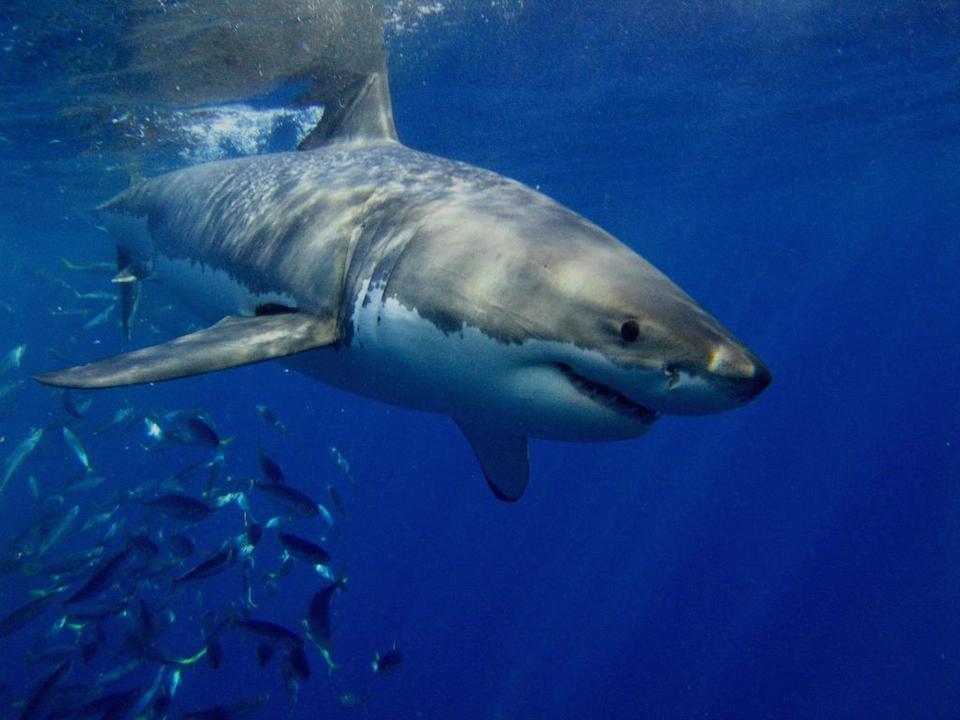 Tiburón de punta blanca