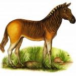El quagga, extinto en 1883, en intento de recuperación hoy