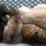 Cuando los gatos llegaron a la vida de los humanos, hace 5,000 años; 14,000 años después que los perros