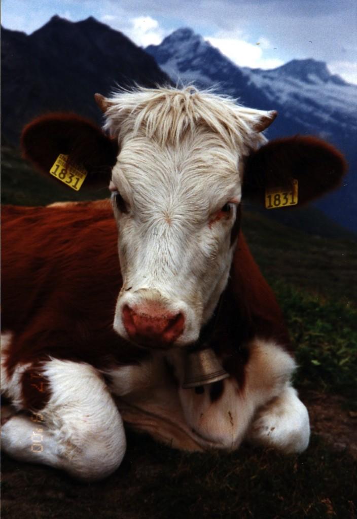 Vaca simental- Elisabeth Belik