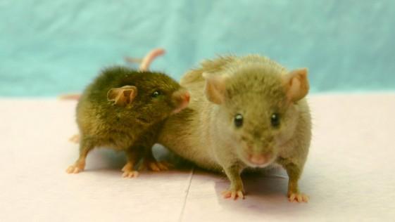 Ratón Yoda
