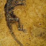 Ida Darwinius masillae, el antepasado mas primitivo del hombre