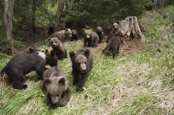 """Una """"escuela"""" para que los osos huérfanos aprendan a vivir en la naturaleza en Rumanía"""