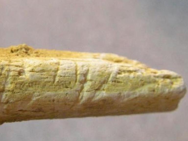 Hueso de un brazo de neandetal - Thomas Higham
