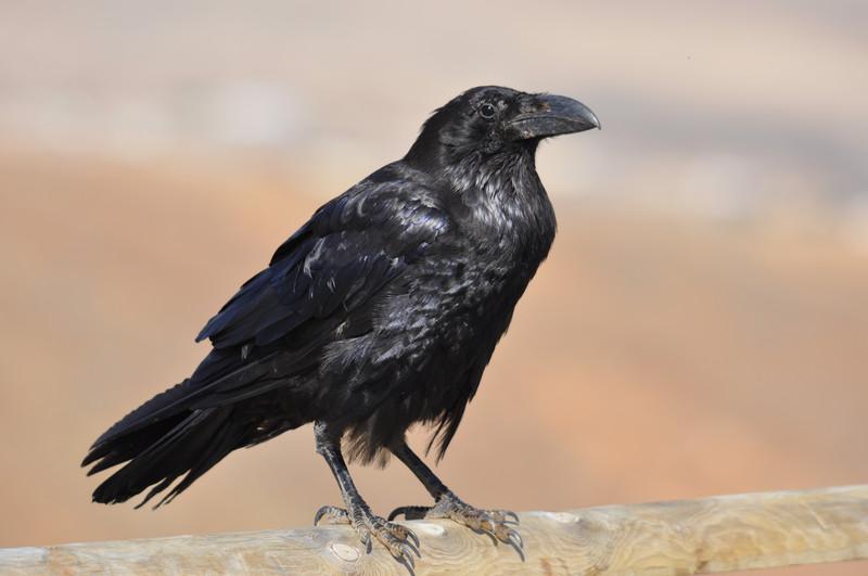 Injustificada la mala fama de los cuervos.