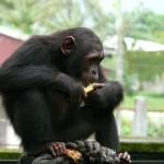 El chimpancé de Nigeria: en riesgo inminente de desaparecer