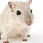 La oxitocina mejora el comportamiento social de ratones con autismo