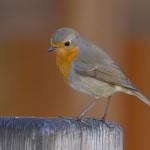 Los petirrojos europeos están dejando de migrar en el invierno