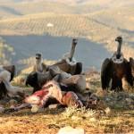 Sin aves carroñeras aumentan las emisiones de CO2
