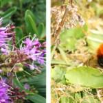 El abejorro europeo mejora sus técnicas de vuelo para invadir la Patagonia