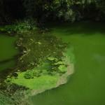 La actividad humana provoca el crecimiento de algas nocivas en los lagos