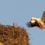 Las cigüeñas podrían contaminarse por pesticidas en su migración a África