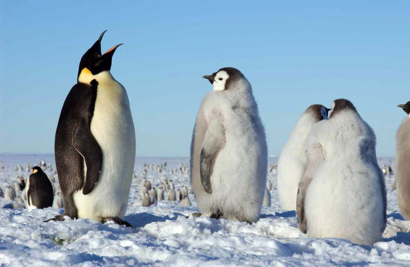 Los pingüinos han perdido sentido del gusto por vivir a temperaturas extremas