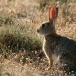 Una nueva variante de la enfermedad hemorrágica de los conejos hace peligrar al lince.