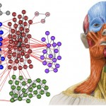 Investigadores de la Universitat de València caracterizan por primera vez la estructura modular anatómica de la cabeza humana