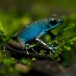 ¿Qué pasa en los depredadores que comen ranas tóxicas?