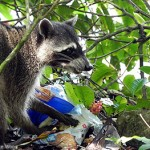 Los mapaches, unos vecinos traviesos