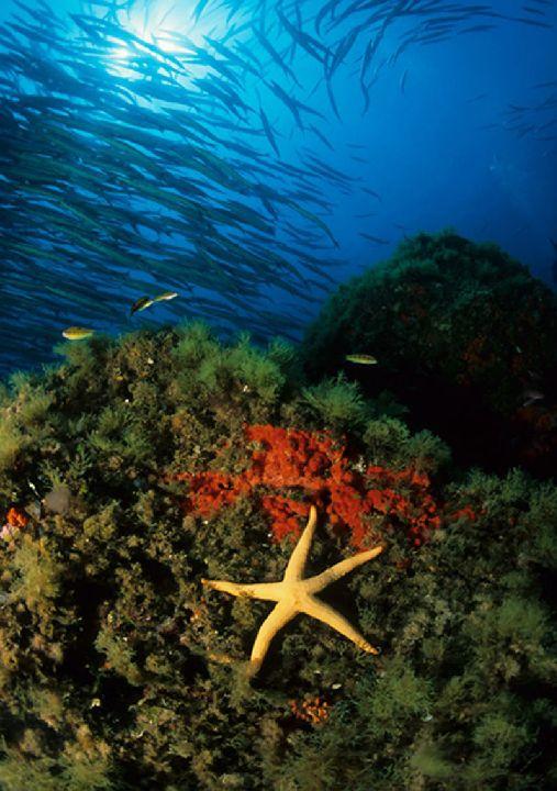 Bentos, flora o fauna asociada al sustrato marino- regmurcia.com