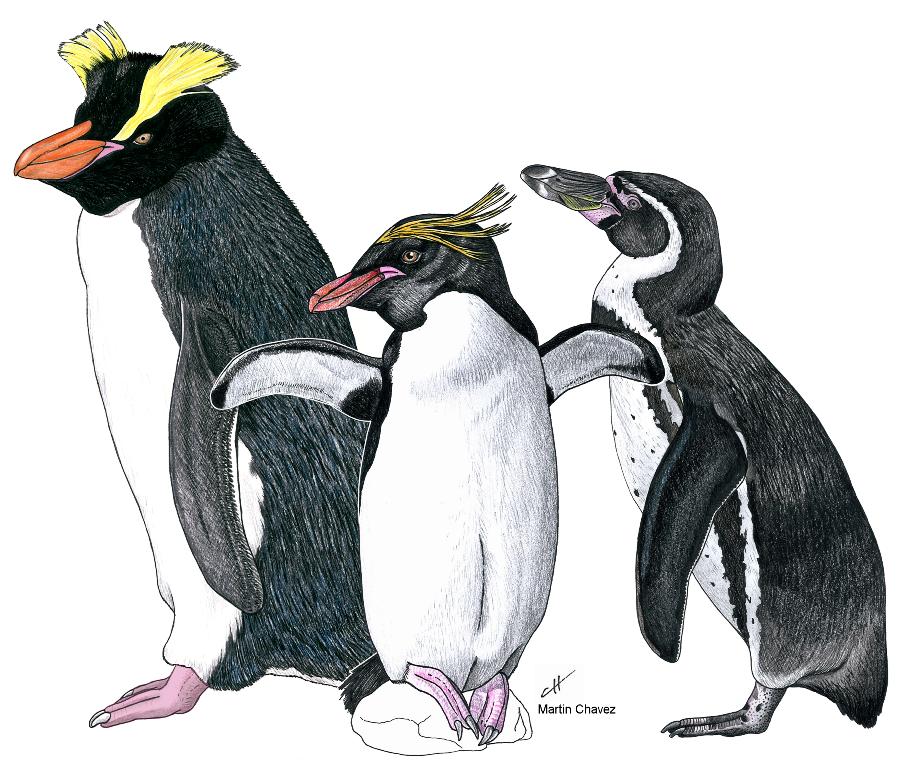 Descubren fósiles de una nueva especie de pingüino crestado, la más antigua conocida