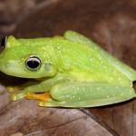 Un hongo letal para los batracios se propaga por el Bosque Atlántico