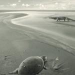 Las primeras tortugas marinas europeas se extinguieron por cambios en el nivel del mar