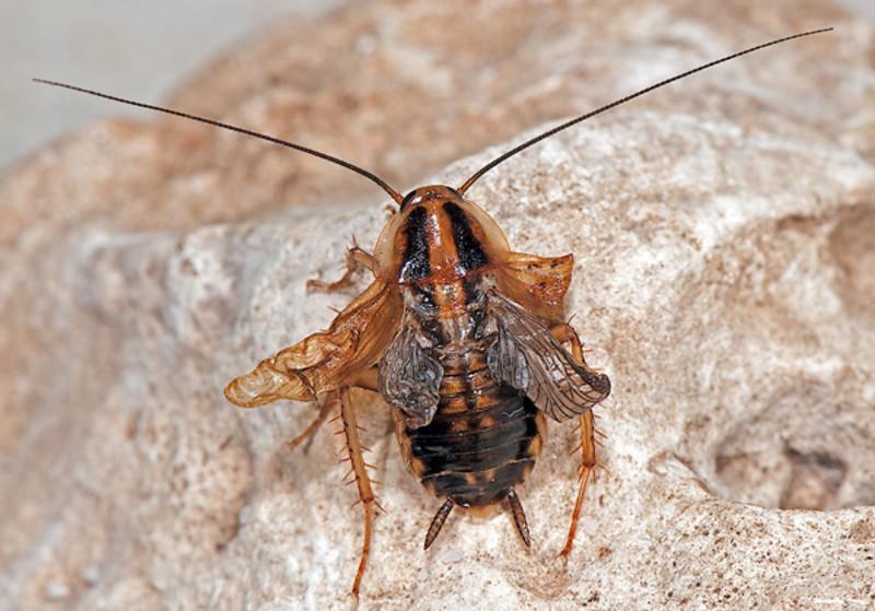 La metamorfosis de los insectos depende de una simple cadena corta de ARN