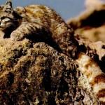 La pérdida de hábitat amenaza a los felinos del mundo