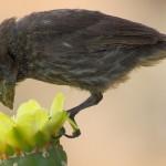 Las aves de Galápagos incluyen flores en su dieta debido a la escasez de alimentos