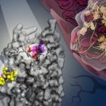 Nuevas estructuras celulares y formación de la trombosis