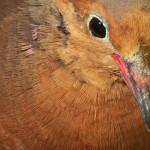 En marcha proyecto para reintroducir la paloma de Socorro en su isla ancestral