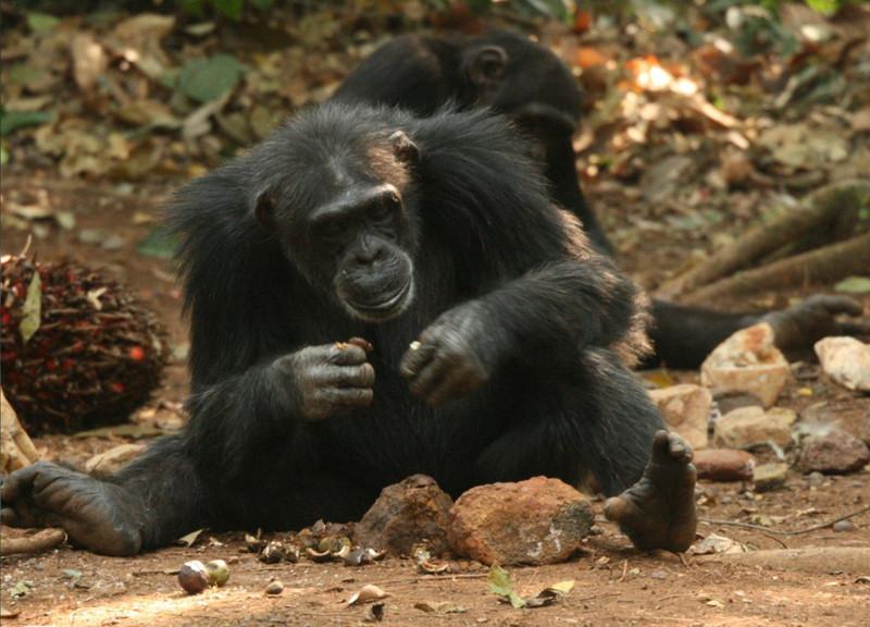 Analizan cómo usan los chimpancés de Guinea las herramientas líticas