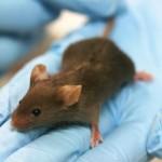 Crean una vacuna a medida contra tres tipos de cáncer en ratones