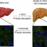 El virus de la hepatitis C altera estructuras celulares asociadas con la expresión génica