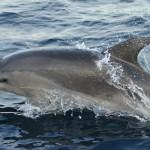 Los delfines del sur del Mediterráneo acumulan contaminantes industriales y del hogar