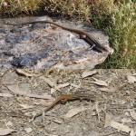 Una lagartija crece más y retiene más calor en zonas altas