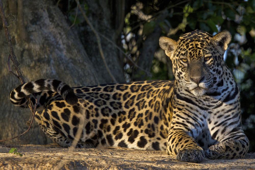 Tras la huella del jaguar