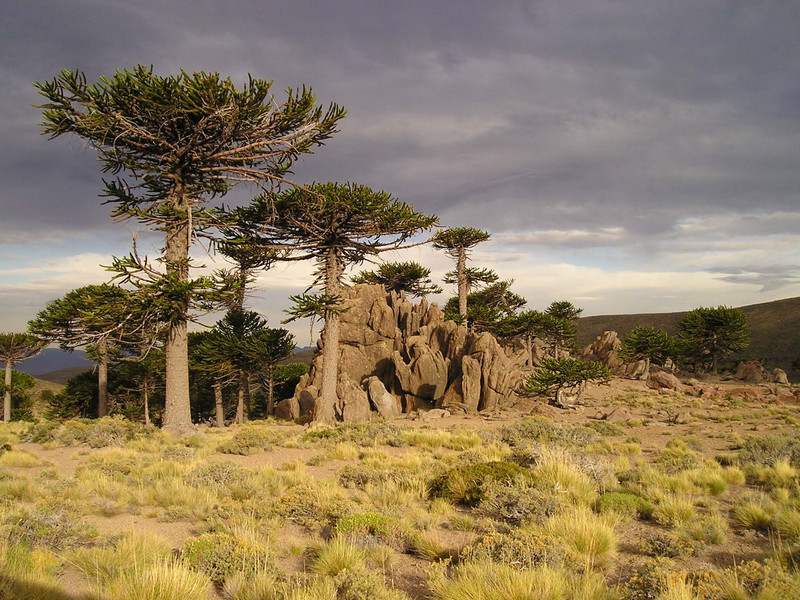 El cambio climático amenaza los bosques de araucaria