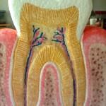Diseñan un nuevo tipo de empaste con capacidad de regenerar los dientes