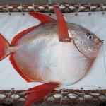 Primer pez con sangre caliente: El pez luna real calienta todo su cuerpo para nadar mejor por aguas frías