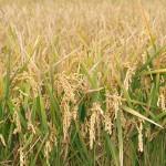 Europa trata de reducir el efecto invernadero ocasionado por el cultivo de arroz
