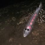 Hallan en las Islas Canarias un pez de seis ojos