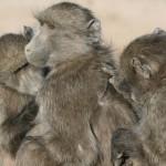 Los babuinos pasan más tiempo con los de su misma edad y estatus