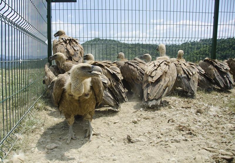 Los buitres leonados, con altas concentraciones de plomo