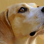 Los perros, aliados para estudiar el cáncer de vejiga
