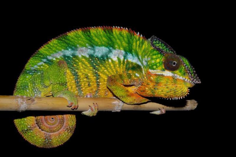 El camaleón pantera no es una especie, sino once