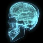 """Las """"neuronas migratorias"""" fueron clave en el desarrollo del cerebro humano"""