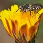 Las especies amenazadas no contribuyen a la polinización