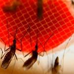 Bacterias del mosquito 'Aedes' pueden convertirse en arma contra el dengue
