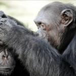 Demuestran que es posible rehabilitar y resocializar chimpancés utilizados en espectáculos y como mascotas